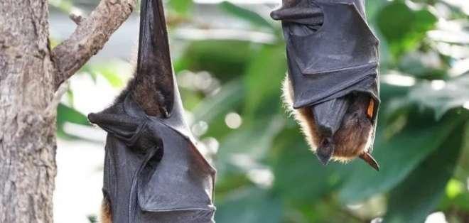 Los murciélagos ayudan a controlar plagas, polinizan y dispersan de semillas. Foto: Pixabay