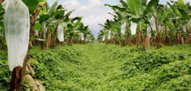 Producción y exportación de banano sufren importante descenso