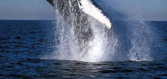 Inicia la temporada de avistamiento de Ballenas Jorobadas en Puerto López