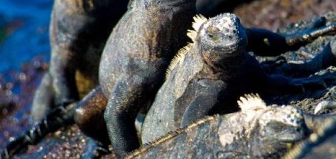 Arrestan a un alemán que trató salir del país con cuatro iguanas