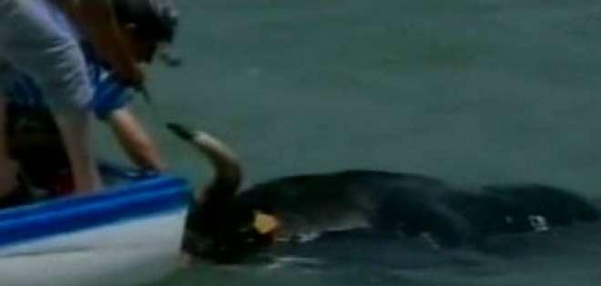 Toro muere ahogado por fiestas en Pamplona