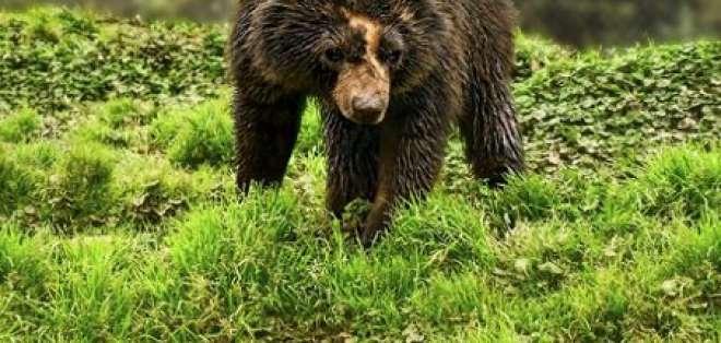 El conflicto con el Hombre pone en peligro a los osos andinos