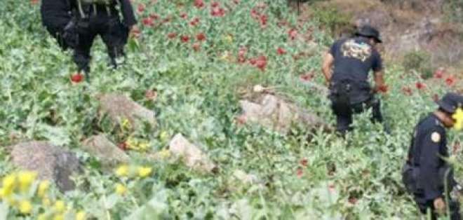26 mil plantas de amapola se destruyeron tras operativo en Cotopaxi