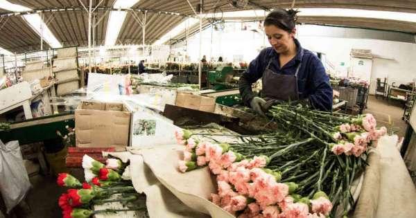 Millonarias pérdidas en florícolas de Ecuador