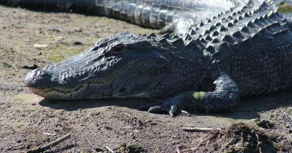Hombre fue devorado por caimán, pero en realidad murió por sobredosis