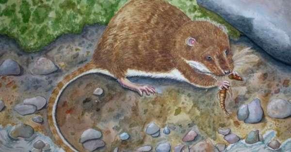Descubren una nueva especie de rata en Ecuador