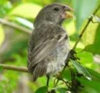 Galápagos llama a proteger a pinzón de Darwin amenazado por mosca invasora.