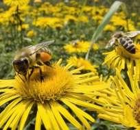 Descenso en la población de abejas de EEUU pone en peligro numerosas cosechas.