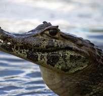 Caimán muerde en la cabeza a adolescente cuando nadaba en río de Florida. Foto: Internet
