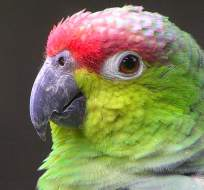 Se estima que sólo existen 600 ejemplares de estos pájaros en su hábitat natural.