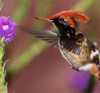 QUITO, Ecuador.- Las provincias de Pichincha, Carchi, Napo y Orellana congregan gran cantidad de colibríes. Fotos: Internet