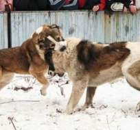 """TECNOLOGÍA.- Esta es una de las fotos que muestra la fan page de Facebook """"Peleas de perros""""."""