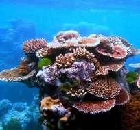 Los corales del Caribe pueden desaparecer en los próximos 20 años.