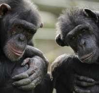 La inteligencia de los chimpancés depende de los genes, según un estudio.