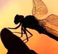 AUSTRALIA.- Investigadores dicen que los ancestros de las libélulas y las cachipollas comenzaron a desarrollar alas. Foto: Internet