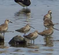 ECUADOR.- Aves playerito semipalmeado y la reinita canadiense y los tiburones martillo son algunas de ellas. Foto: Internet