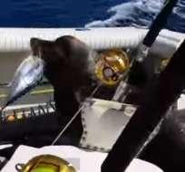 El tierno y valiente león marino persiguió al bote exigiendo que sus ocupantes le inviten un pescado.