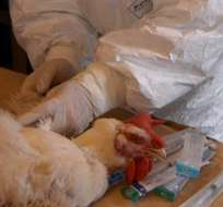 Ya se han sacrificado los 10.100 animales que había en la explotación afectada con el virus H5N8, altamente patógeno. Foto: EFE.