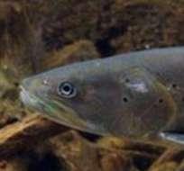 El principal refugio de los salmones del Danubio es en los Balcanes, en los ríos y arroyuelos que recorren las montañas.