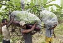 La próxima semana entrará en vigencia el denominado Contrato de Trabajo Agrícola. Foto: Archivo Ecuavisa