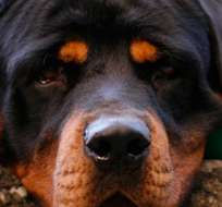 URUGUAY.- Los ataques de perros en Uruguay motivaron la presentación este año en el Congreso de un proyecto de ley para prohibir las razas peligrosas. Foto referencial de medios uruguayos