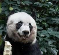 Jia Jia, una panda de un parque de ocio de Hong Kong, cumplió hoy 28 de julio, 37 años, el récord de longevidad en cautividad para esta especie. Foto: AFP/ PHILIPPE LOPEZ