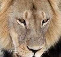 ZIMBABUE.- La matanza del felino se produjo en abril pasado. Esta región africana está consternada. Foto referencial de Internet