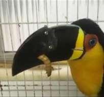 La tucán fue rescatada de una feria de venta ilegal de animales silvestres.