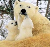 El cambio climático es la principal amenaza para la supervivencia de los osos polares, que en los próximos 40 años podrían ver su población mermada en un 30 % debido a la pérdida de su hábitat