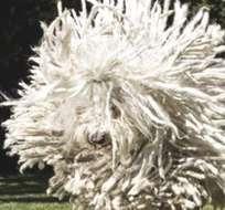 EE.UU.- En la imagen se aprecia al pastor húngaro saltando, simulando un gran ovillo de lana. Foto: Facebook