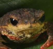 BRASIL.- Los sapos, de 1 a 2,5 cm, fueron localizados en la selva tropical del sur del país. Foto referencial