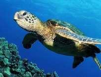 NACIONES UNIDAS.- El secretario general de la ONU, Ban Ki-moon, indicó que especies como las tortugas marinas están cerca de la extinción. Foto: Internet.