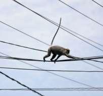 KENIA.- El primate se subió al techo de la planta eléctrica y cayó sobre un transformador. Foto: EFE