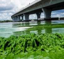 La citobacteria se ha reproducido a altos niveles gracias al agua con fósforo y nitrógeno que llega desde el lago Okeechobee al río St. Lucie.