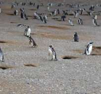 Un video de NG muestra un lado inédito de estas aves que habitan la zona sur del planeta.