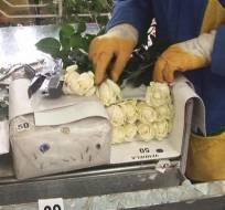 LATACUNGA, Cotopaxi.- En esta provincia de la Sierra se cultivan aproximadamente 900 hectáreas de flores de exportación. Foto: Captura de Video.