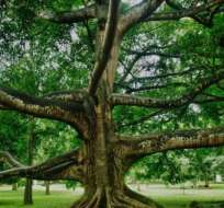 Los árboles de higo está presentes más que ninguna otra especie vegetal en la historia de la humanidad.