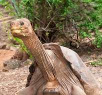 ECUADOR.- La emblemática tortuga, de 290 libras, regresa a la isla Santa Cruz, donde vivió 40 años. Foto: Twitter