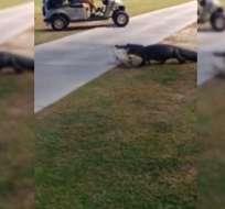 Golfistas quedaron impactados al ver al gran animal caminando en medio de ellos. Foto: Captura