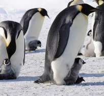 Los pingüinos de la Antártida son particularmente vulnerables al cambio climático porque la pérdida de hielo marino afecta a su hábitat. Foto: Web