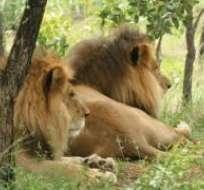Los dos leones habían comenzado una nueva vida libre de abusos en mayo del año pasado.