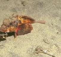 """Investigadores aún no logran identificar con precisión a este """"peatón marino"""". Foto: Captura"""