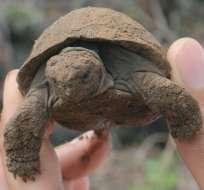 Las tortugas gigantes bebé pesan cerca de 60 o 70 gramos al nacer. La nueva tecnología permitirá rastrear sus movimientos desde el espacio.
