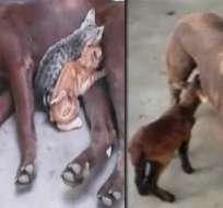 Nutela da de lactar a animalitos abandonados por su madre. Foto: Captura