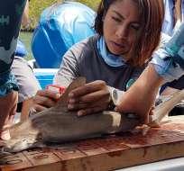 En el nuevo sitio se contaron alrededor de 30 tiburones juveniles. Foto: Ministerio del Ambiente