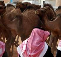 Los concursos tienen reglas estrictas para los estándares de belleza de los camélidos.