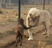"""Internautas expresaron su admiración por """"los modales"""" del león."""