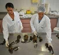 Veterinarios examinan a los monos muertos en el Instituto Municipal de Medicina Veterinaria en Río de Janeiro, Brasil. Foto: AFP