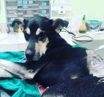 GUAYAQUIL, Ecuador.- Brauny está estable. Médicos se mantienen cautos sobre su salud. Foto: Fundación Rescate Animal Ecuador.