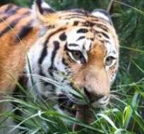 El zoológico alberga tigres de Siberia, como este del zoo de Hamburgo.